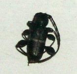 シロオビチビカミキリ