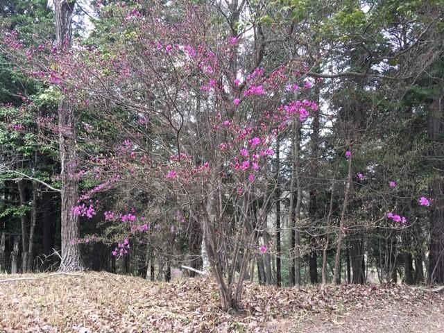 コバノミツバツツジが咲き出しています。