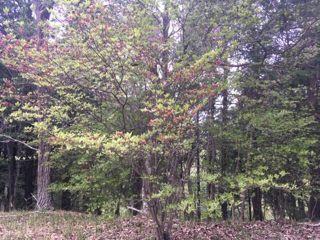 コバノミツバツツジ今日の標準木