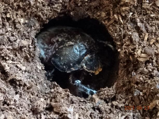 ヒラタクワガタ羽化、コカブト産卵確認しました